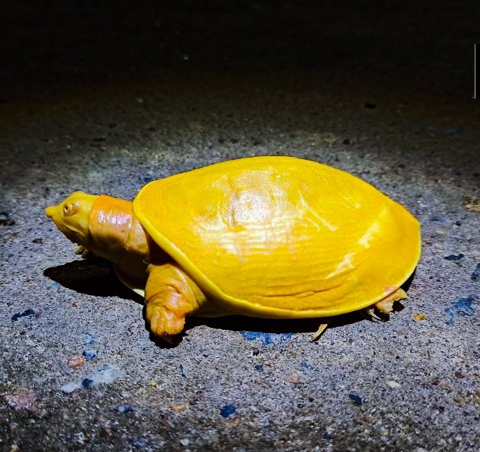 Rarest of rare yellow turtle spotted in India | Asia News